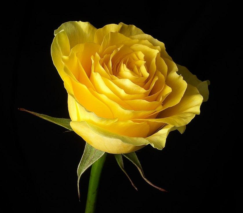 Jojo's rose